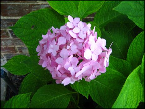 Pink hydrangeas 3